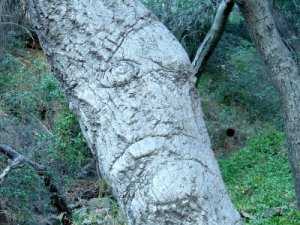 weird face in an oak trunk